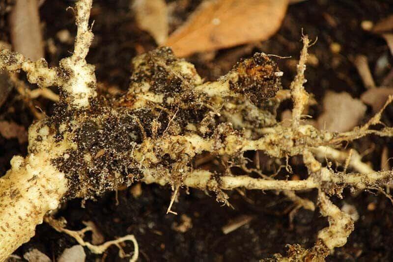 nematodes in soil
