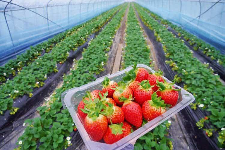 Trichoderma harzianum on strawberry