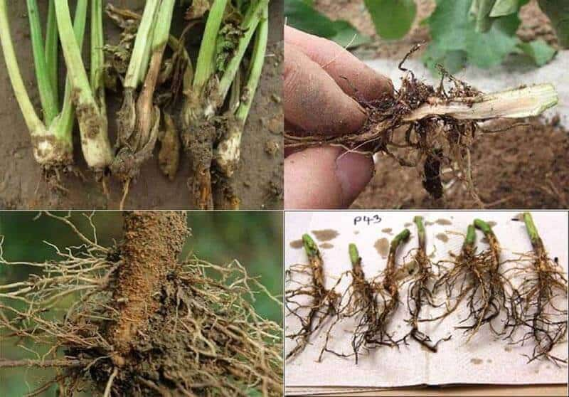 Root-rot