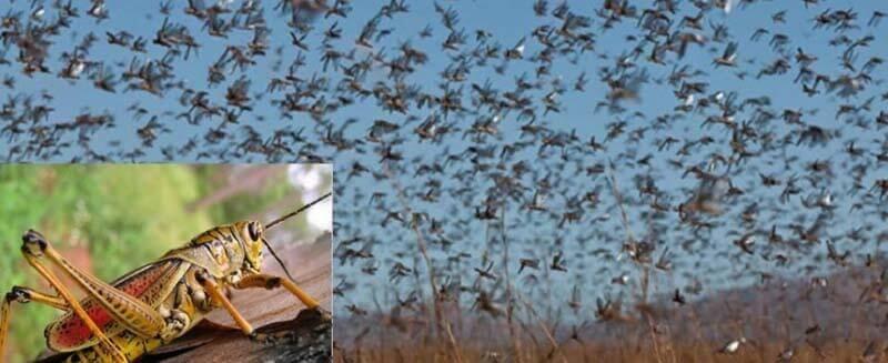 damages of locusts