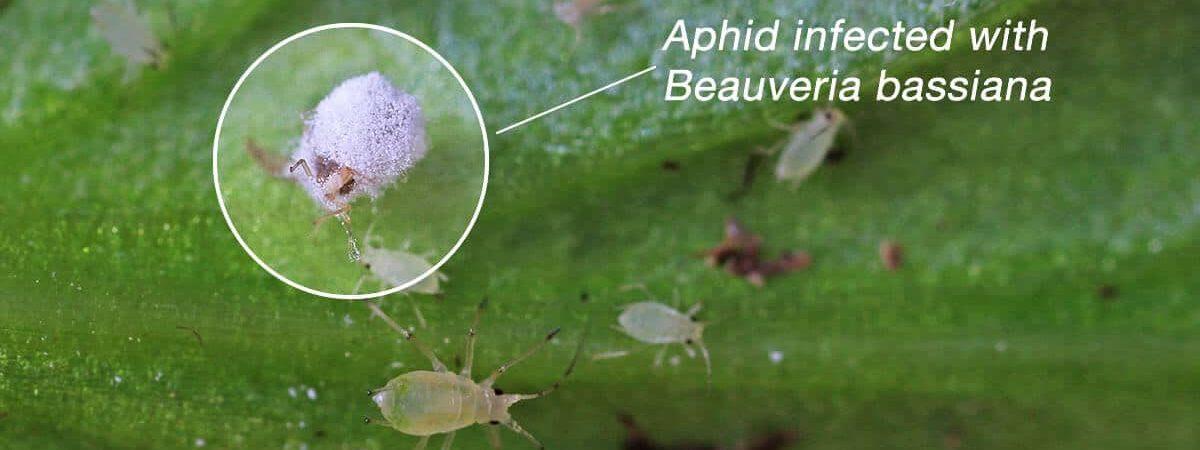 beauveria-bassiana infect aphid
