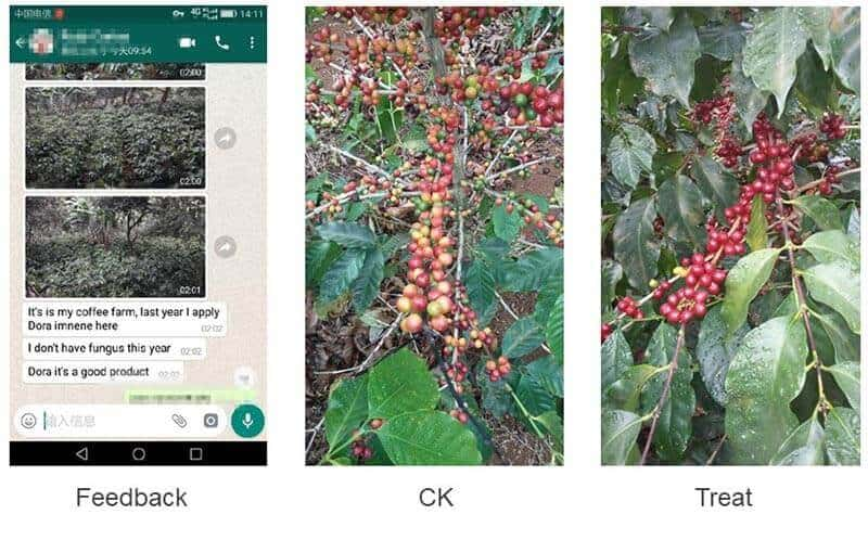 Harpin protein on coffee tree