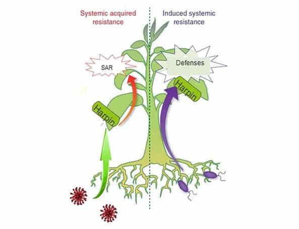 harpin protein mechanism