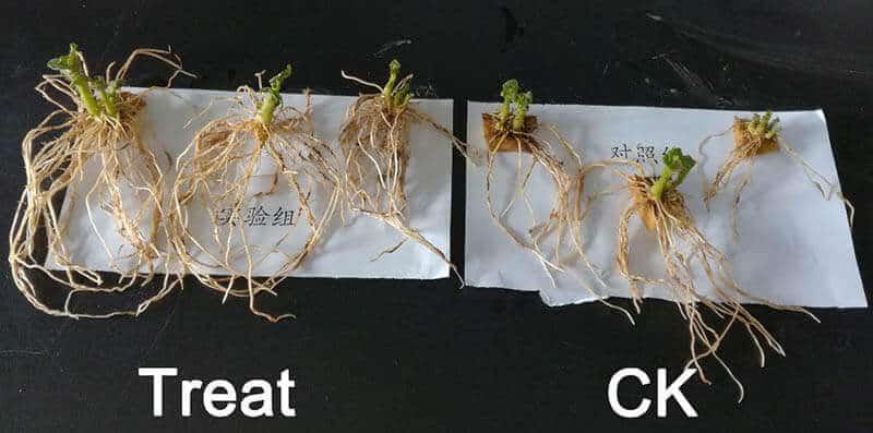 paecilomyces lilacinus on potato roots