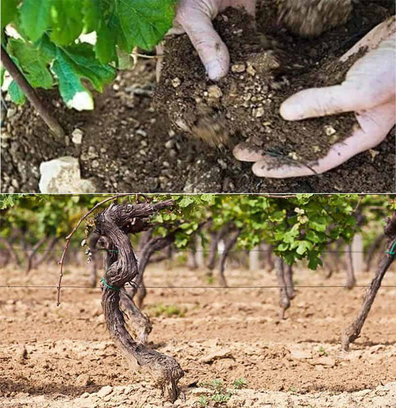 Soil condition of grape planting