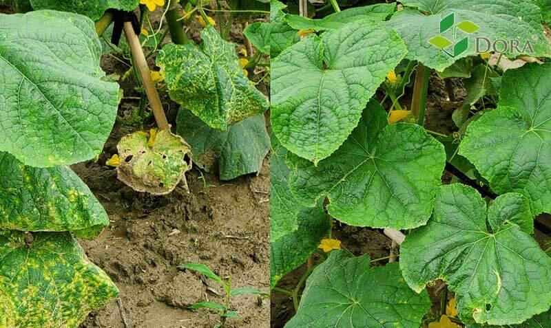 tomato-leaf-diseases