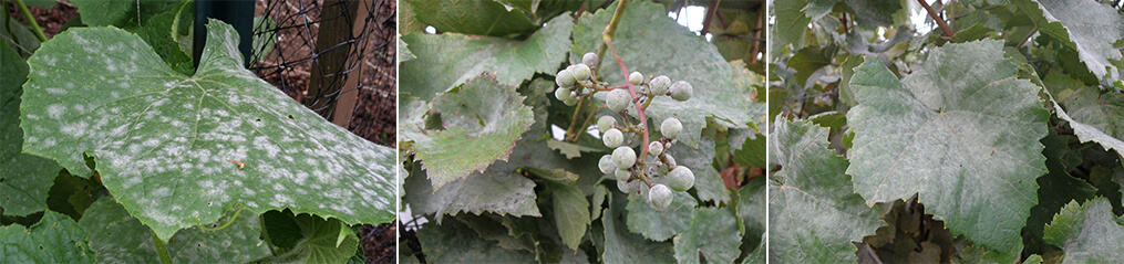 grape powdery mildew