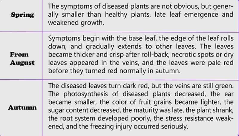 Grape leafroll disease symptom