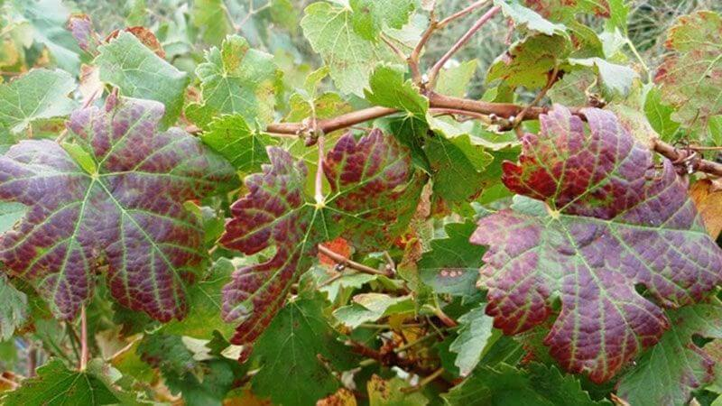 Grape leafroll diseases