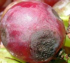 grapes-anthracnose