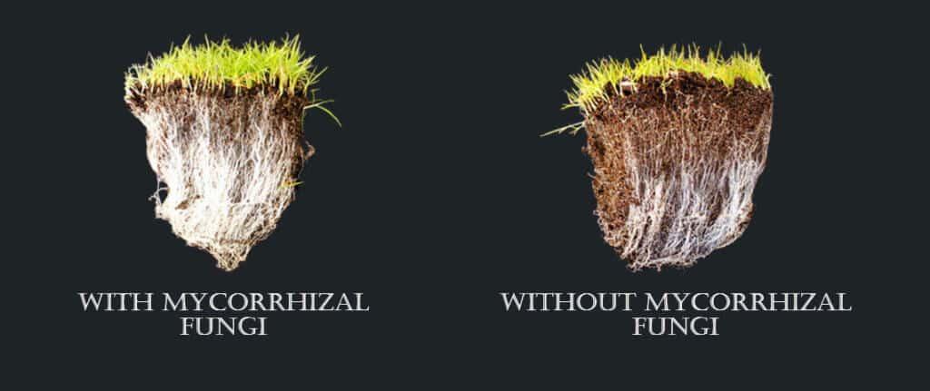 benefits of mycorrhizae fungi