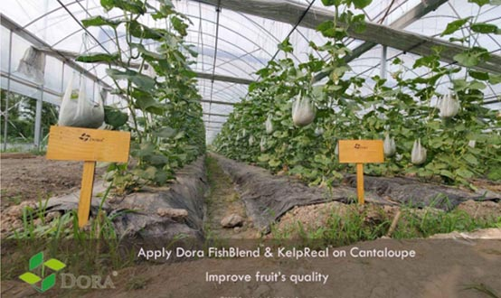 seaweed extract on organic melon farm