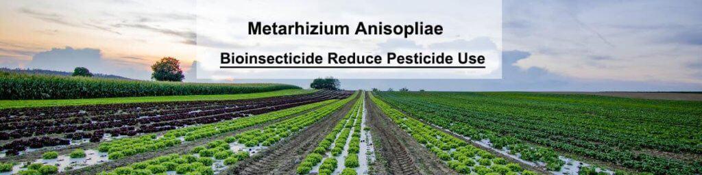 Bioinsecticide Metarhizium anisopliae