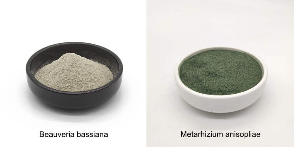 Metarhizium anisopliae y beauveria bassiana
