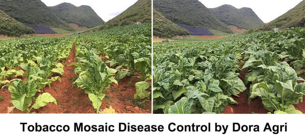 control tobacco mosaic disease