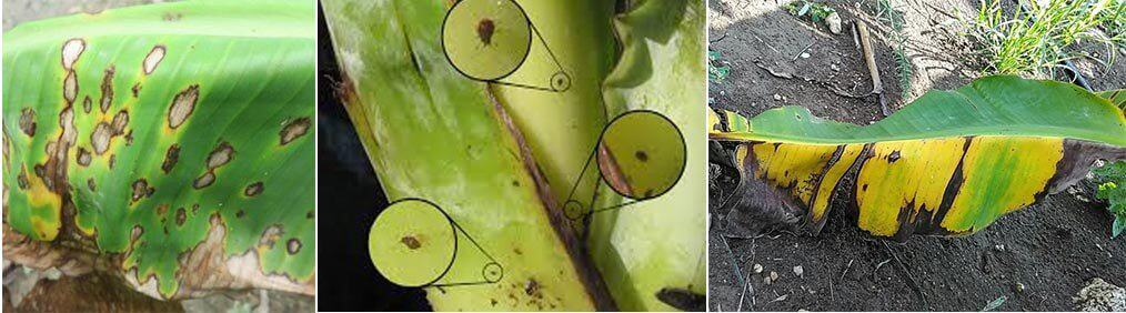 Banana tree diseases