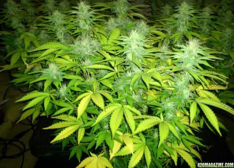 week 3-4 cannabis flowering stage