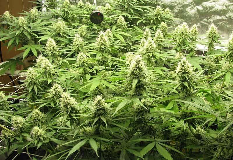 week-4-6-cannabis-flowering-stage