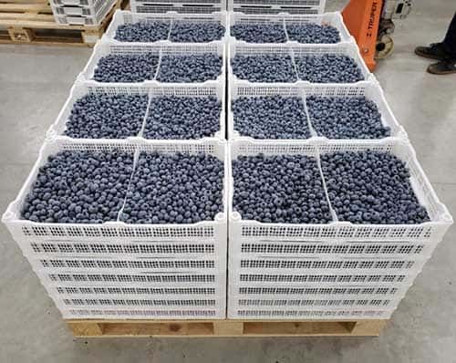 1-MCP on fruits Blueberry