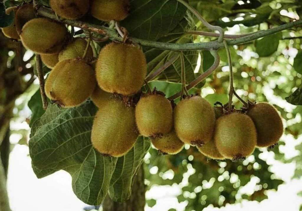 1-MCP on kiwifruits firmness
