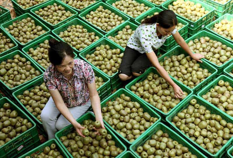 1-MCP on kiwifruits shelf life