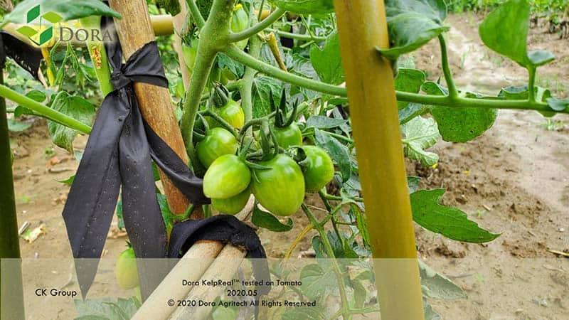 DORA KelpReal-Tomate mature