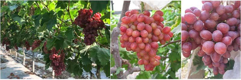 Dora Prohydrojasmon on grape