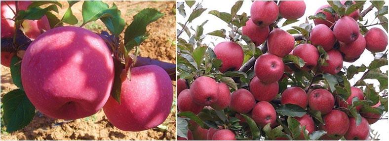 Propyl dihydrojasmonate PDJ on apple