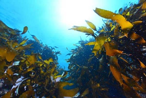 seaweed extract use in agriculture