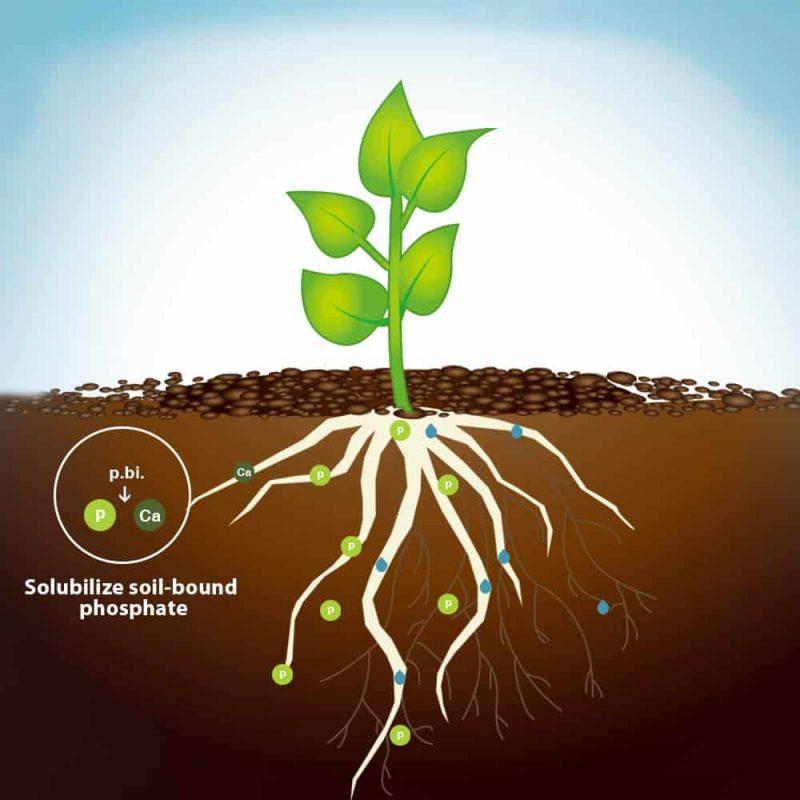 Dora Penicillium bilaiae solubilize soil-bound phosphate